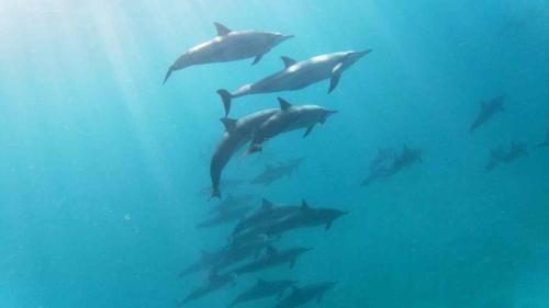 Part of dolphin herd